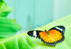 The  butterfly on the leaf. The  butterfly on leaf, look  beautiful  and  freedom Royalty Free Stock Photos