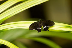 Butterfly on leaf, macro insect life in the tropical rain forest Royalty Free Stock Photos