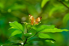 Butterfly on leaf, macro insect life in the tropical rain forest Stock Photo