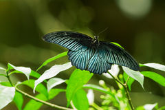 Butterfly on leaf, macro insect life in the tropical rain forest Stock Images