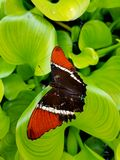 Butterfly on a leaf. Mindo ecuador butterfly sanctuary leaf beautiful color Royalty Free Stock Photos