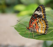 Butterfly on a leaf. Multi colored butterfly on a leaf royalty free stock image