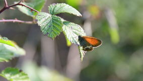 A butterfly on the leaf. An orange butterfly laid on a leaf stock footage