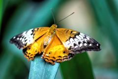 Butterfly on leaf. An orange and white butterfly on a green leaf royalty free stock images