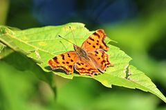 Butterfly on a leaf. Brown butterfly photographed on a sheet near the Serbian town of Cacak Stock Photos