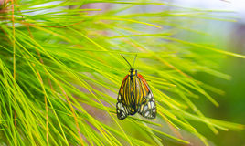 Butterfly on a leaf pines Stock Photos