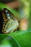 Butterfly on leaf in rainforest Royalty Free Stock Photography