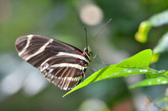 Butterfly on a leaf. A butterfly resting on the tip of a leaf Royalty Free Stock Photo