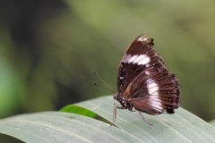 Butterfly on a leaf. Side view of an old and frail butterfly on a leaf Royalty Free Stock Photo