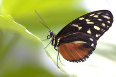 Butterfly on a leaf Royalty Free Stock Images