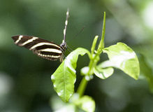 Butterfly. On leaf, wings spread royalty free stock photo