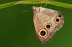 Butterfly on a leaf, Ypthima motschulskyi. Having rest. There are eyes on wings in order to threaten the enemy Stock Photo
