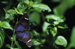 Butterfly and leaves. Blue butterfly on leaves royalty free stock photos