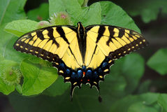 Butterfly on leaves. A background with a view of a yellow butterfly with beautiful design on its wings Royalty Free Stock Photo