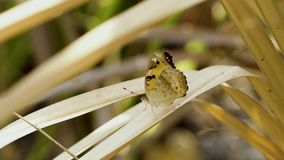 Butterfly on leaves. Brown butterfly on dry palm leaves in summer stock video