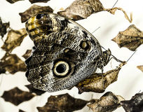 Butterfly with leaves. Clinging to dry leaves. Black and white and brown. Eyes on wings. Fine tracery on the wings. White background Royalty Free Stock Photo