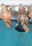 Butterfly leaves cocoon. An unidentified tropical butterfly leaves its cocoon stock photo