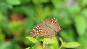 Butterfly on leaves in tropical rain forest. Lemon Pansy butterfly Junonia lemonias on leaves in tropical rain forest stock video
