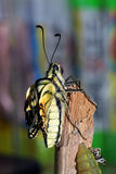 Butterfly leaving the pupa Royalty Free Stock Images