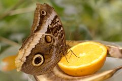 Butterfly on lemon. A brown butterfly sitting on a piece of a lemon Stock Photography