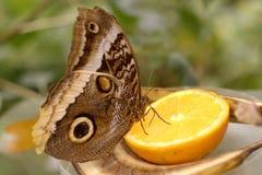 Butterfly on lemon Stock Photography