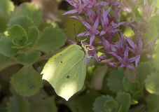Butterfly lemon colored ( Gonepteryx rhamni ). Stock Images