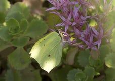 Butterfly lemon colored ( Gonepteryx rhamni ). Stock Images