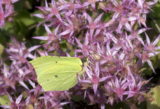 Butterfly lemon colored ( Gonepteryx rhamni ). Stock Photos
