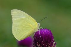 Butterfly (Lemon Emigrant) Royalty Free Stock Images