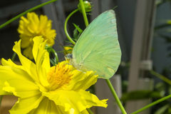 Butterfly (The Lemon Emigrant) Royalty Free Stock Photos