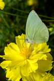 Butterfly (The Lemon Emigrant) Stock Photography