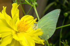 Butterfly (The Lemon Emigrant) Royalty Free Stock Photography