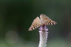 Butterfly Lemon Pansy Junonia lemonias Stock Photos