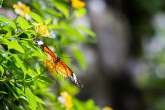 Butterfly leopard lacewing Stock Photography