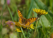 Butterfly with leopard patterns Stock Photography