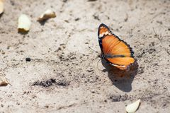 Butterfly (Lepidoptera) Royalty Free Stock Photos
