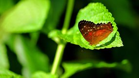Butterfly (lepidoptera) on green leaf in aviary Stock Image