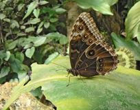 Butterfly lepidoptera is sitting on big bright leaf. It is relaxing. It has big decorative circles on wings and very long feelers.  royalty free stock photos