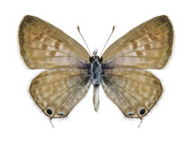 Butterfly Leptotes pirithous (female) Stock Image