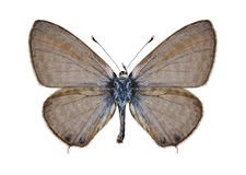 Butterfly Leptotes pirithous (male) Royalty Free Stock Photography
