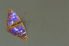 Butterfly - Lesser Purple Emperor Stock Image