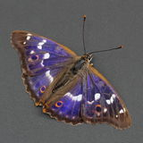 Butterfly - Lesser Purple Emperor over dark grey. Royalty Free Stock Photography
