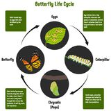 Butterfly Life Cycle Diagram. With all stages including eggs caterpillar chrysalis pupa adult butterfly simple useful chart for biology science education Royalty Free Stock Photography