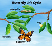 Butterfly life cycle diagram Royalty Free Stock Photos