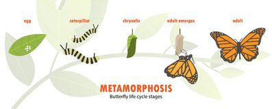 Butterfly life cycle metamorphosis. Vector illustration nature Stock Image