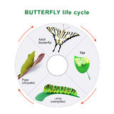 Butterfly life cycle. Metamorphosis. Butterfly life cycle. From caterpillar to butterfly. Metamorphosis. Scarce Swallowtail Royalty Free Stock Images