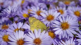 Butterfly on lilac aster in sunny weather stock images