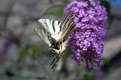 Butterfly on lilac Royalty Free Stock Images