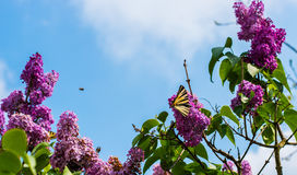 Butterfly on lilac Flowers. Butterfly resting on blooming lilac flowers outdoors with blue sky background Royalty Free Stock Photo