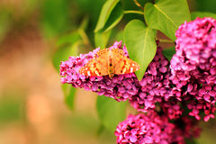 Butterfly on Lilac Stock Photo